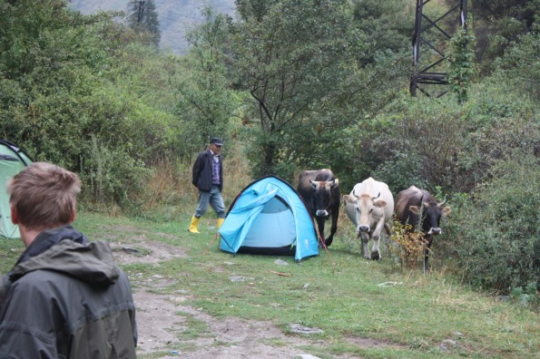 tents and cows