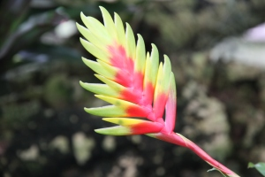 bromeliad -- vriesea carinata