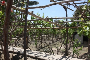 Pisco vineyard
