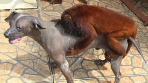 Peruvian hairless, howler monkey