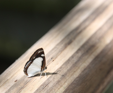 Black and white butterfly, Iguazu Falls