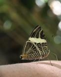 Black and yellow butterfly, Iguazu Falls