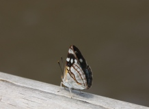 Brown, black and white butterfly, Iguazu Falls