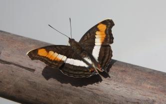 Image result for BUTTERFLIES  IGUAZU FALLS GREEN TRAIL