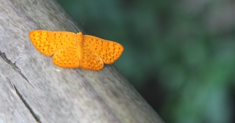 Orange butterfly, Iguazu Falls