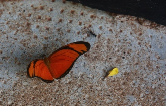 Red butterfly, Iguazu Falls