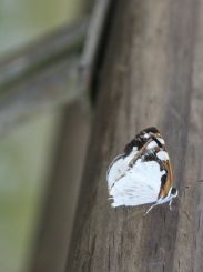 White and black butterfly, Iguazu Falls