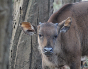 Gaur calf, Indian bison