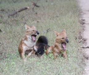 Wild dogs, India