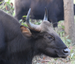 Gaur, Indian bison