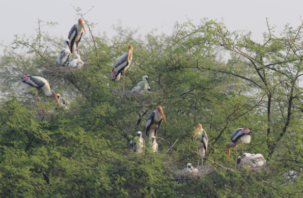 painted storks, colony