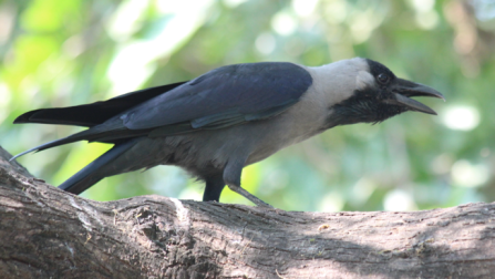 Common crow