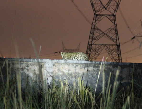 Leopard, Rajaji National Park