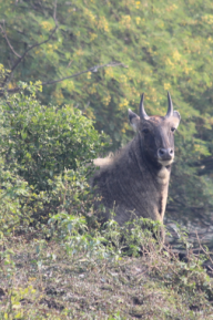 Nilgai, male