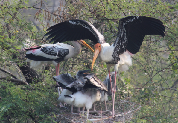 painted stork, India