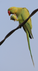 Rose-ringed parakeet, female