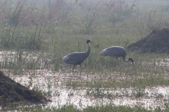 Sarus cranes, Keoladeo