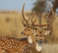 Chital, spotted deer