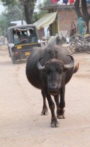water buffalo, India
