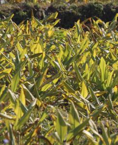 turmeric growing