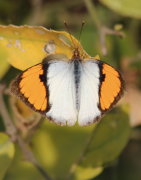 White orange tip butterfly