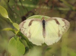 Yellow orange tip butterfly, female