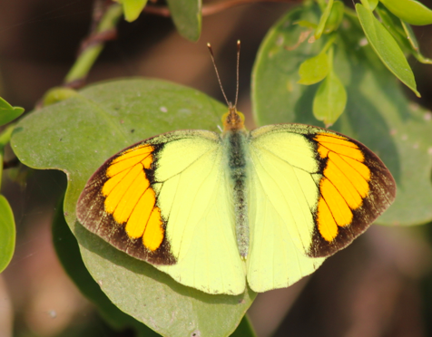 Yellow orange tip butterfly, male