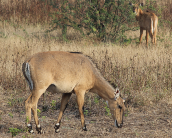 Female nilgai