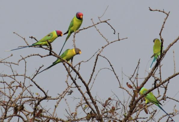 Plum-headed parakeets