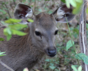 Young sambal deer