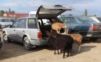 Sheep Karakol