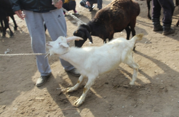 Reluctant goat
