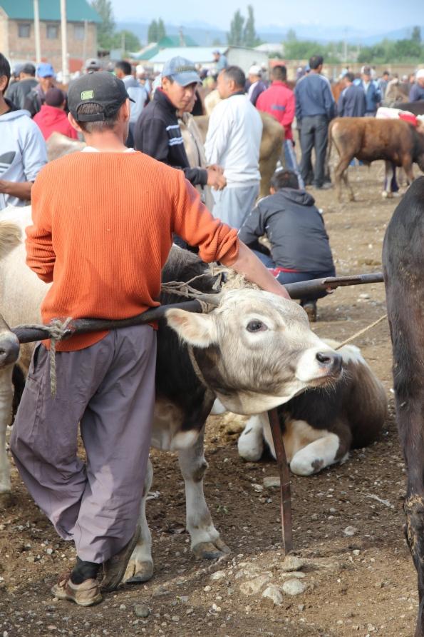 Karakol calf