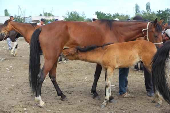 Horse and foal, Karakol