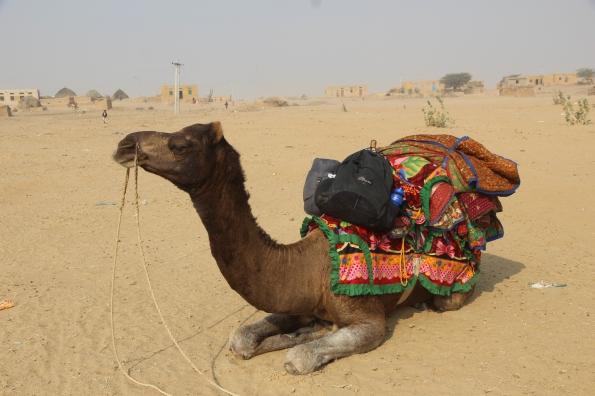 camel in Thar desert