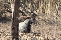 Blue bull, nilgai, male