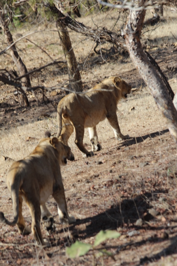 Asiatic lions, males