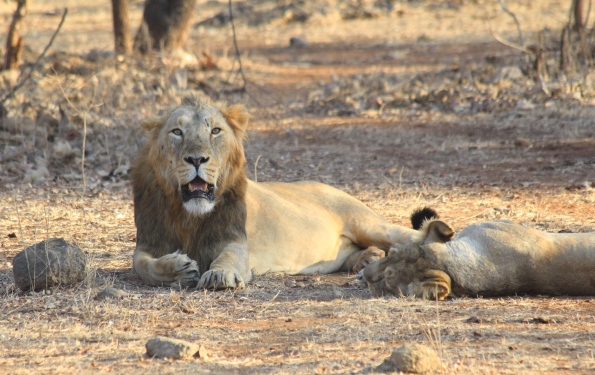 Asiatic lions, mating pair