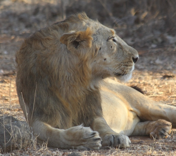Asiatic lion, male
