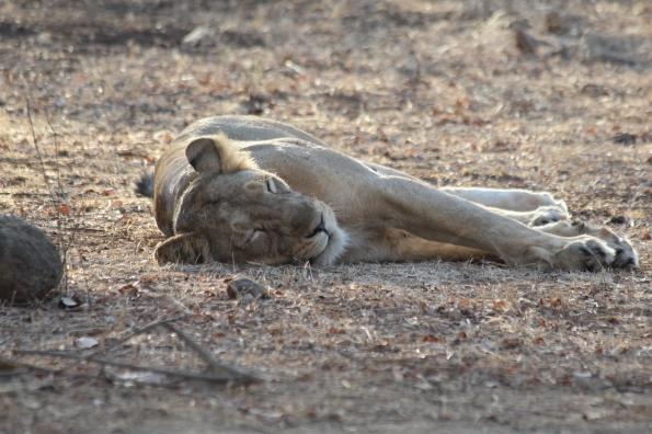 Asiatic lion, female