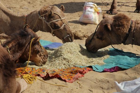 Thar Desert, camels feeding