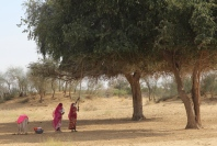 gathering fruit, Thar Desert