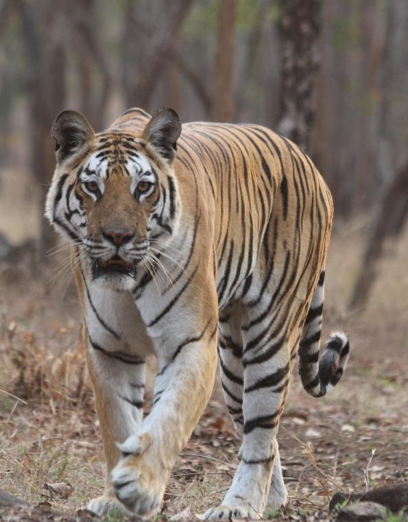 Junewani tiger