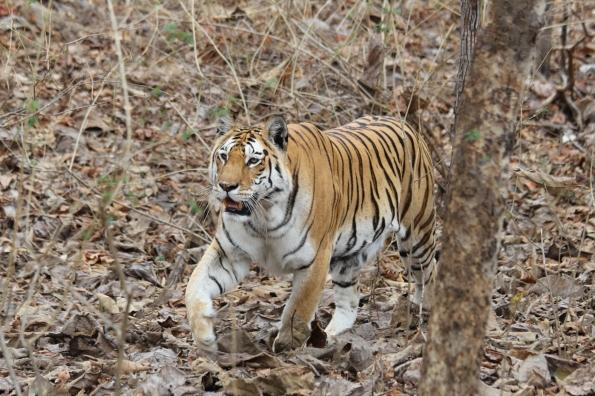 Tiger Pench