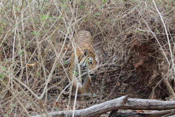 Tiger in lantana