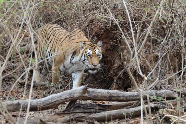 Tiger in lantana 2