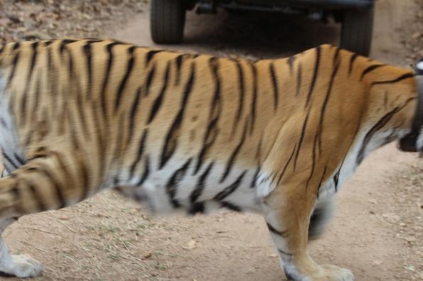 tiger on the run