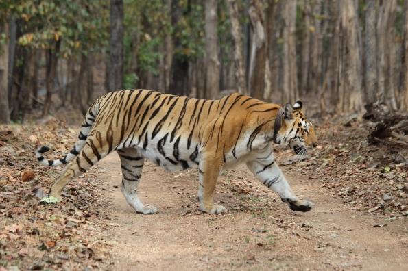 pregnant tiger