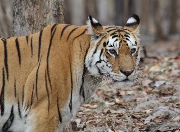Collar Valley tiger