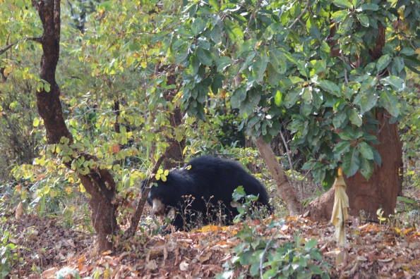 Baloo, sloth bear